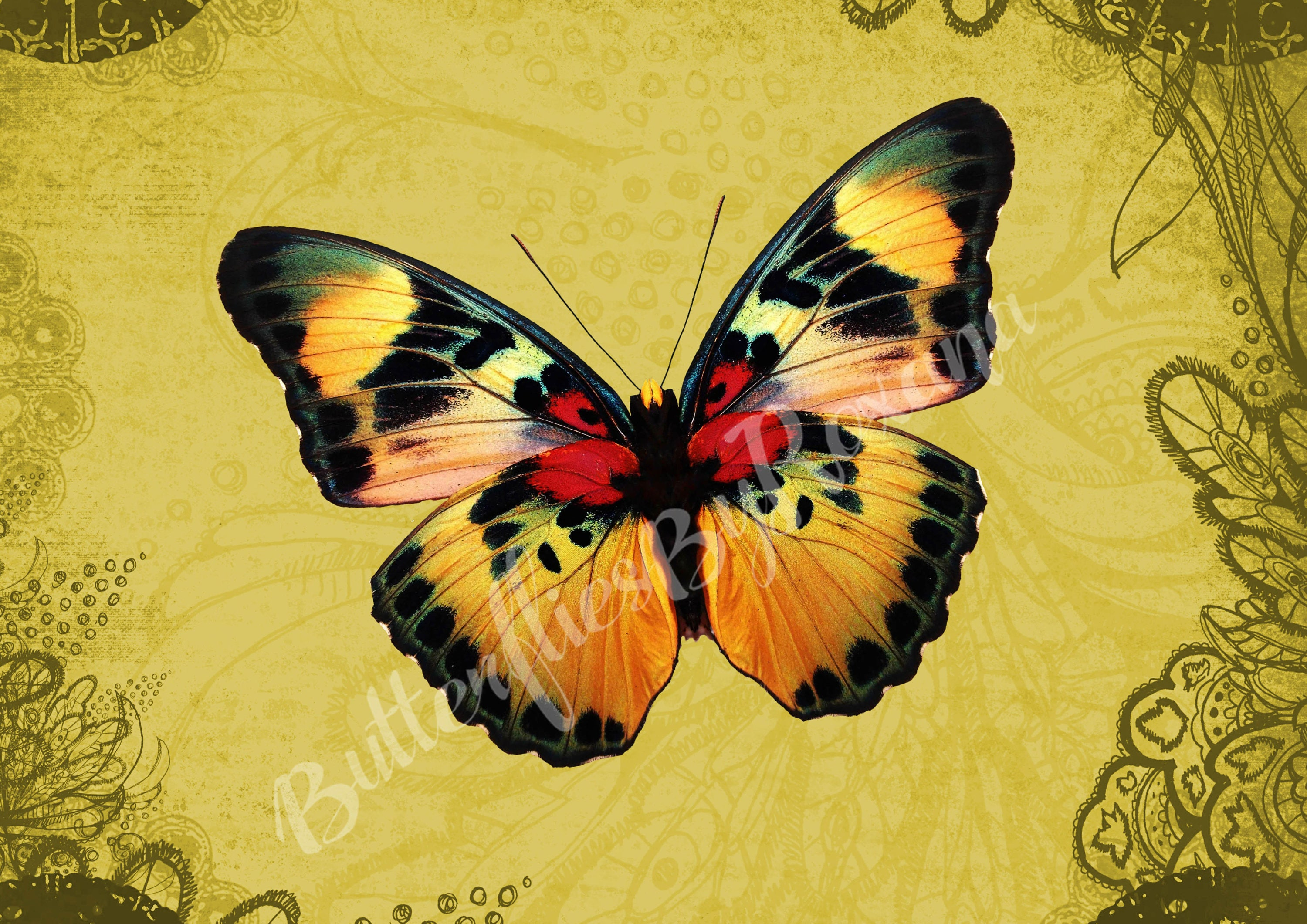African Beauty Butterfly from Cameroon Digital art print Set of 3 ...