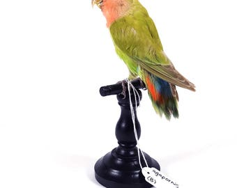 Mounted birds for sale: Agapornis - Taxidermy!