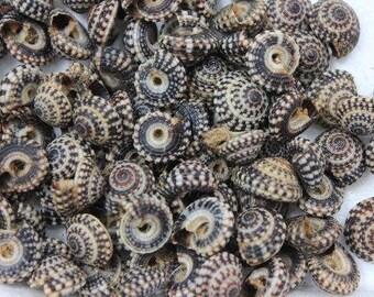 Heliacus Variegatus Tiny Seashells  (5 Shells)