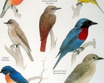 Birds - Citrine Canary Flycatcher, Flame Robin, Pale Flycatcher, Spotted Flycatcher - Vintage 1980s Bird Book Plate Page
