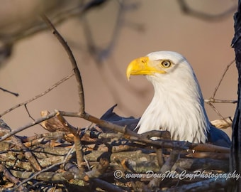 Bald Eagle on Nest #2085