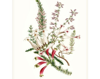 Scottish Heather Highland Plant. Pink Flowers. Common and Exotic Heather Botanical Drawing. Gardening Birthday Gift. Scottish Gardeners Gift