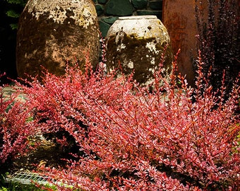 Rose Glow Barberry 5 Gallon