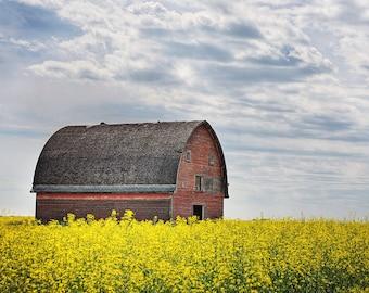 Gothic barn farm in canola field