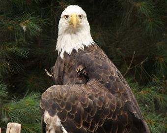 Bald Eagle Photograph 8x10 Print
