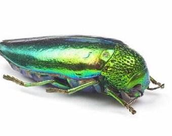 One Real green jewel beetle Sternocera aequisignata Thailand