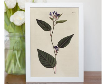 "Vintage illustration of Vine Lilac - framed fine art print, flower art, home decor 8""x10"" ; 11""x14"", FREE SHIPPING - 129"