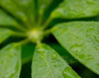 Macro Photography, Rain Drop, Green Flower, Tropical Photograph, Water Droplet, Fine Art Print, Close Up Images, Jamaica Plants, Caribbean