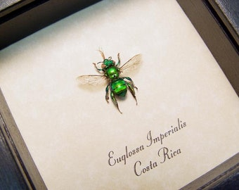 Real Framed Rare Euglossa Imperialis Metallic Glowing Green Costa Rica Orchid Bee 7723B
