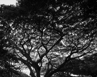 Monkeypod Lace, 3Butterflies Photography, monkeypod tree, kauai trees, kauai, black and white, silhouette tree, lace pattern