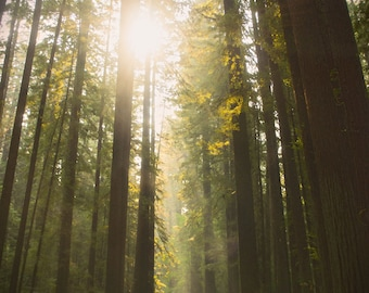 Tree Photo, Redwoods Photo Art, Green Forest Photo, Woodlands Photo, California Redwood, Sepia Woodlands & Sunlight, Avenue of the Giants