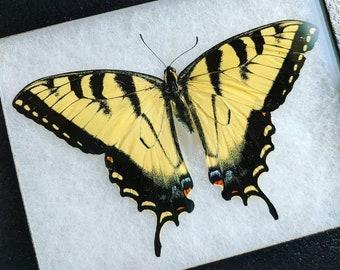 Butterflies mounted in a frame