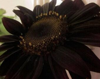 True Black Ornamental Sunflower   Pack 20 Seeds Pack Very Interesting Attracting Bees Butterflies