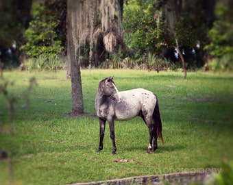 wild horse photography, cumberland island georgia, animal photograph, nature, green home decor, grey horse