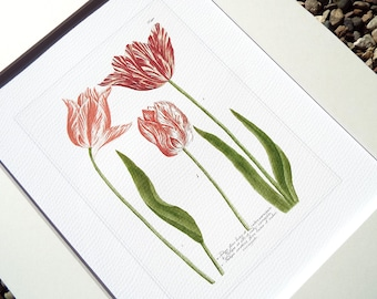 Botanical Tulip Study 4 in Pinks, Corals & Green Archival Quality Print