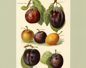 "Matted Antique Fruit Print  ""Plums"" C. 1891 Antique Botanical Fruit Grower's Guide 11x14"""