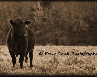 Black Angus Cow, Rural Fine Art, Archival 16x24 Photograph Print