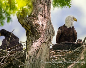 Bald Eagle and Eaglets at Lake Cumberland, Ky #7798