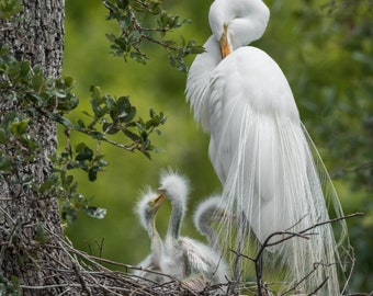 Great Egret Nest Photo and/or Metal Print