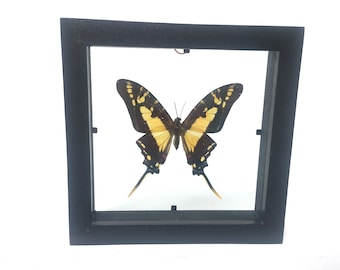 Lovely Protographium Thyastes Butterfly/Insect/Taxidermy/Lepidoptera