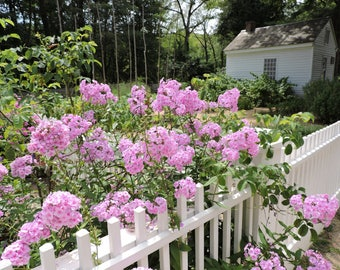 Pink floral photograph, Pink floral print, White picket fence print, White picket fence photograph