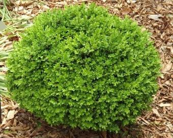True Dwarf English Boxwood ( Buxus ) - Live Plant - Quart Pot