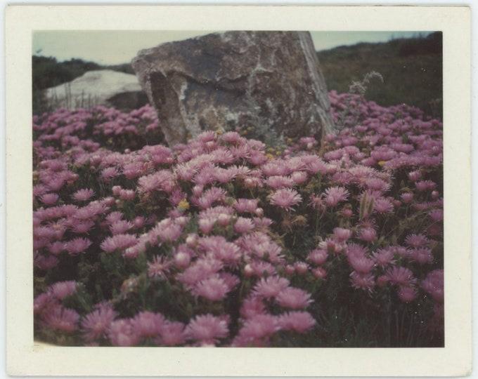 Vintage Polaroid [Land] Snapshot Photo: Flowers, Monterey Bay, 1964 [Mesembryanthemum, Purple Carpet] [84663]