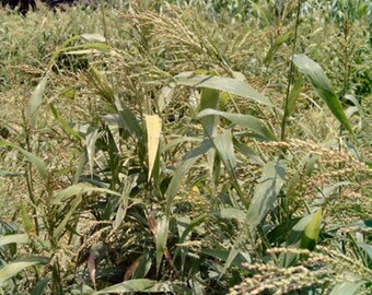 Brown Top Millet Seeds