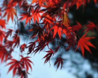Japanese Maple Tree - Red Leaves - Autumn Tree Art - Fall Foliage - Autumn Red - Wall Decor - Misty Blue - Nature Photograph