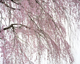 Pink Cherry Blossom Tree, Pink Cherry Blossoms,  Pink Cherry Blossom Photograph #3475