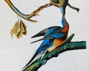 Vintage Audubon Bird Print - Passenger Pigeon - 1970s Large Book Plate, Colour Bird Print
