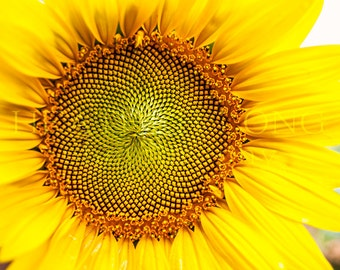 Sunflower - Nature Photography, Wall Art Prints, Fine art photography print, Limited Edition