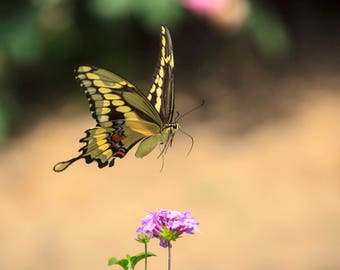 Swallow Tail Butterfly Captured Mid Flight -- Frame-ready, Matted Photograph