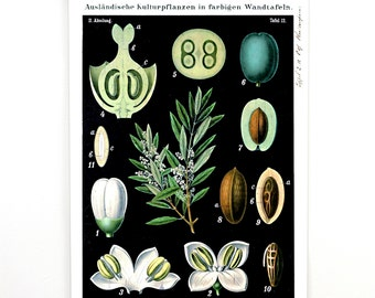 Pull Down Chart - Botanical Olive Tree Print. Vintage Science Plate Print Reproduction Educational Botany Diagram Poster - CP220CV
