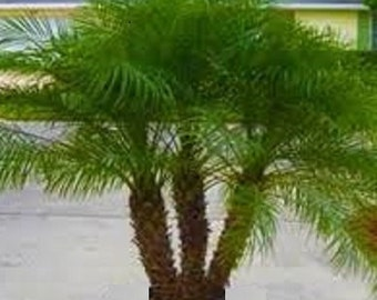 1, 2, 3 or 4 Live 2 Ft Tall Pygmy Date Palm - 2 Gal Pot - Multiple Palms - Free Shipping