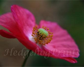 Summer Poppy Photo Print