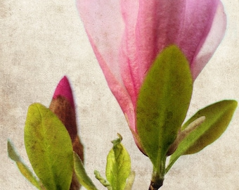 Magnolia Flower Blossom Botanical Nature Pink - 5 x 7 art print by Dawn Smith