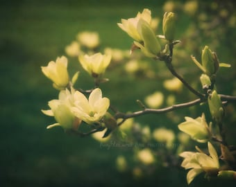 Yellow Magnolias Fine Art Photography Flower Floral Spring Emerald Green Pale Yellow Tree Shabby Chic Garden Cottage Home Decor Wall Art