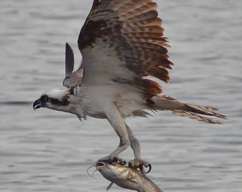 Osprey in flight with fish in talons