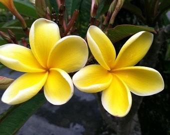 Beautiful Plant Plumeria Frangipani Yellow Flowers Seedling