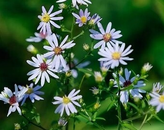 Calico Aster Flower Essence