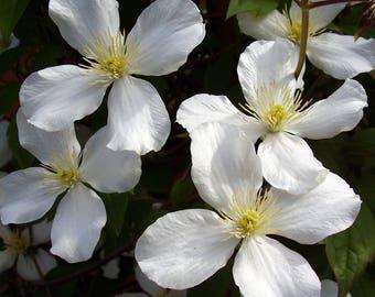 """Spooner White Clematis - Free Flowering - 2.5"""" Pot"""