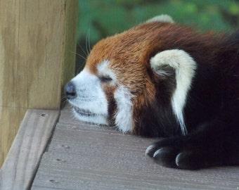 Sleepy red panda digital download