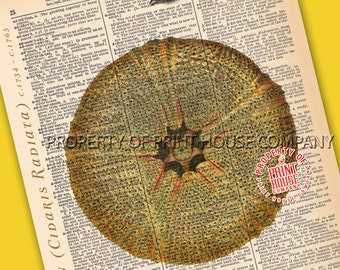"Sea Urchin, Dictionary Print, Vintage Natural History Illustration, Printed on an 8""x11"" Antique Dictionary Page."