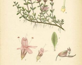 WILD THYME or Creeping Thyme  - 1905 Botanical Book Plate  90 Bilder ur Nordens Flora