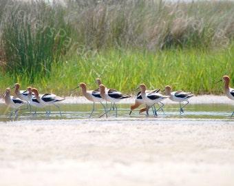 Amercian Avocet Photograph // Florida Shorebird Print // Beach Bird Print