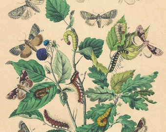 1876 ORIGINAL hand colored lithograph of Butterflies and Moths from Berge's 'Schmetterlings-Buch' Published in Stuttgart by Julius Hoffman