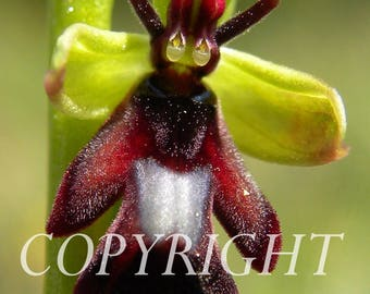 Ophrys fly macro photo.