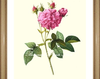 "Rose Pictures. Rose Print No.17. Flower Pictures. Botanical Prints, Rose Print, Roses Wall Art,  8x10"" 11x14"""