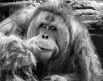 Orangutan, Wildlife Photography, Nature Photography